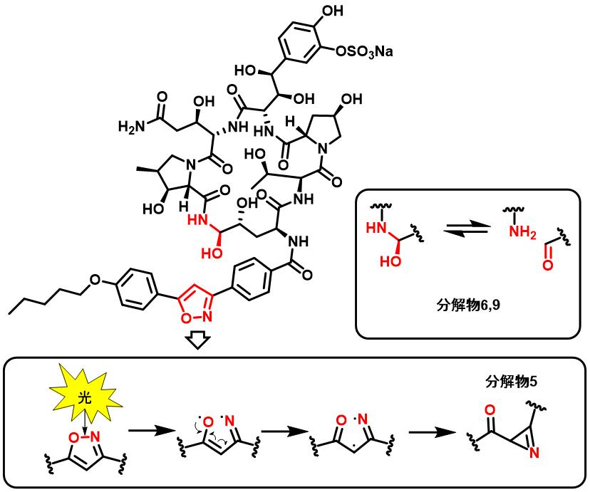 ミカファンギン(micafungin)の分解機構を考察