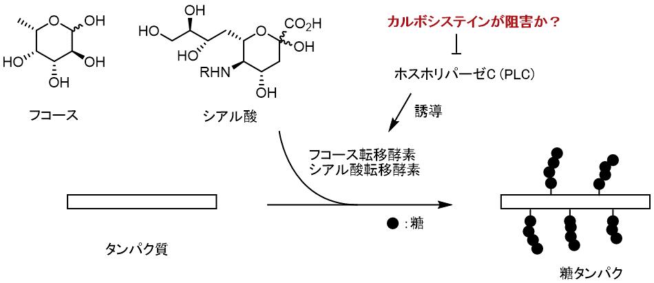 カルボシステインの作用機序(推定)
